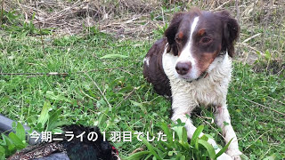 このビデオは 2017.12.16 ブリタニーキジ猟 ニライの1羽目.