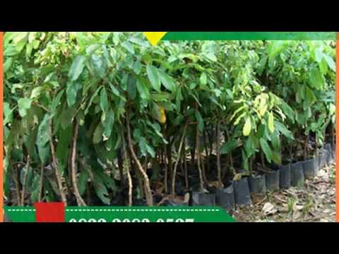 Harga Bibit Pohon Kelengkeng Pingpong, 0822.2083.0527 (Tsel)