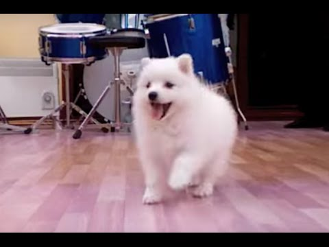 CUTEST PUPPY IN THE WORLD!!! JAPANESE SPITZ - SO FLUFFY