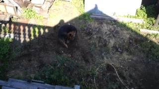 Собака поедает свой хвост