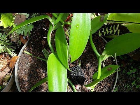 Growing Vanilla planifolia - species Vanilla Orchid of Mexico & Central America