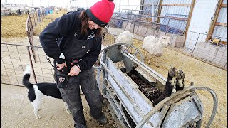 TIME FOR A TRIM BOYS!! (testing the INFACTO hoof trimmers on the RAMS) Vlog 413