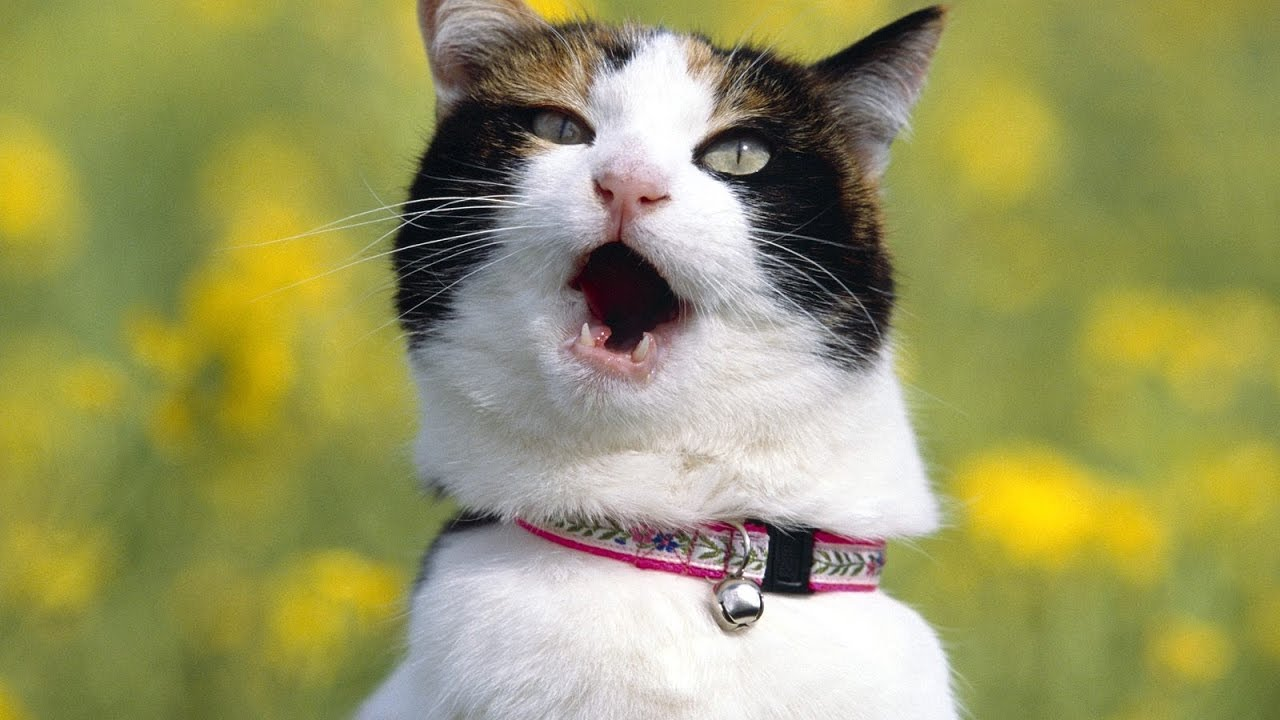 картинки с говорящими кошками днем рождения