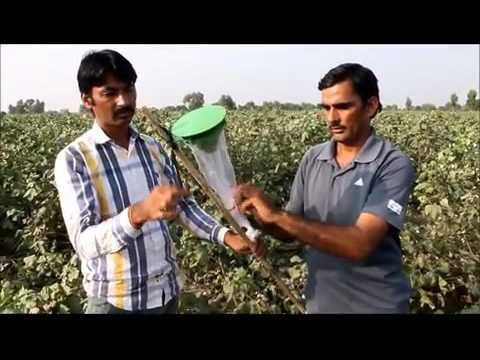Pheromone trap to monitor pink bollworm in cotton