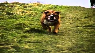 Bulldog Lovers English Bulldog Running In Slow Motion