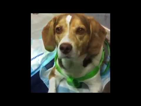 Adventures Of A Super Pup! Bella The Paralyzed Beagle