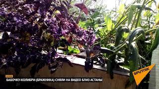 Крупную бабочку-колибри (бражника) сняли на видео близ Астаны