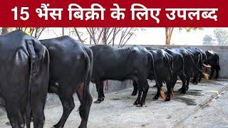 15 Buffaloes available for sale. Village-Kabrel, District-Hisar, Haryana