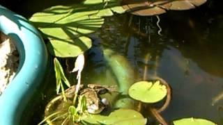 Лягушка- путешественница - умное  земноводное)(Первое видео о нашей лягушке https://www.youtube.com/watch?v=HSIl2zQQ8fU Оказывается, лягушка тоже поддается дрессировке, для..., 2016-06-25T22:01:52.000Z)
