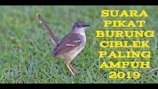 Suara pikat burung ciblek | 100℅ Langsung dapat