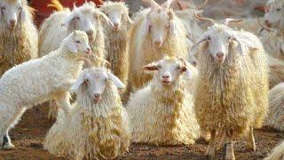 Разведение и содержание Таджикских шерстных коз, ангорского типа.