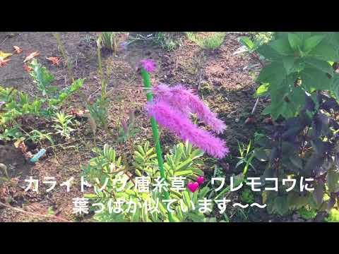 まるおの母 まるこの宿根草と低木の庭 2018 07 14 猛暑日で砂漠に逆戻り⁉️ の庭に咲く カライトソウ タイタンビカス ヘメロカリス