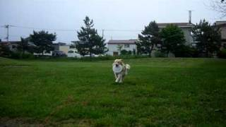 庭・・・ぢゃなく公園でフリスビーの練習中・・QAT看板犬ゴールダー(ゴ...