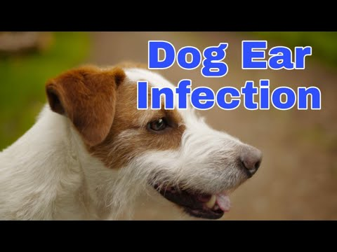 Dog ear infection identify / ear cleaning - care your dog otitis in Hindi