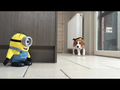 Funny Dogs VS 'TUMBLIN STUART' The Minion! Part 1