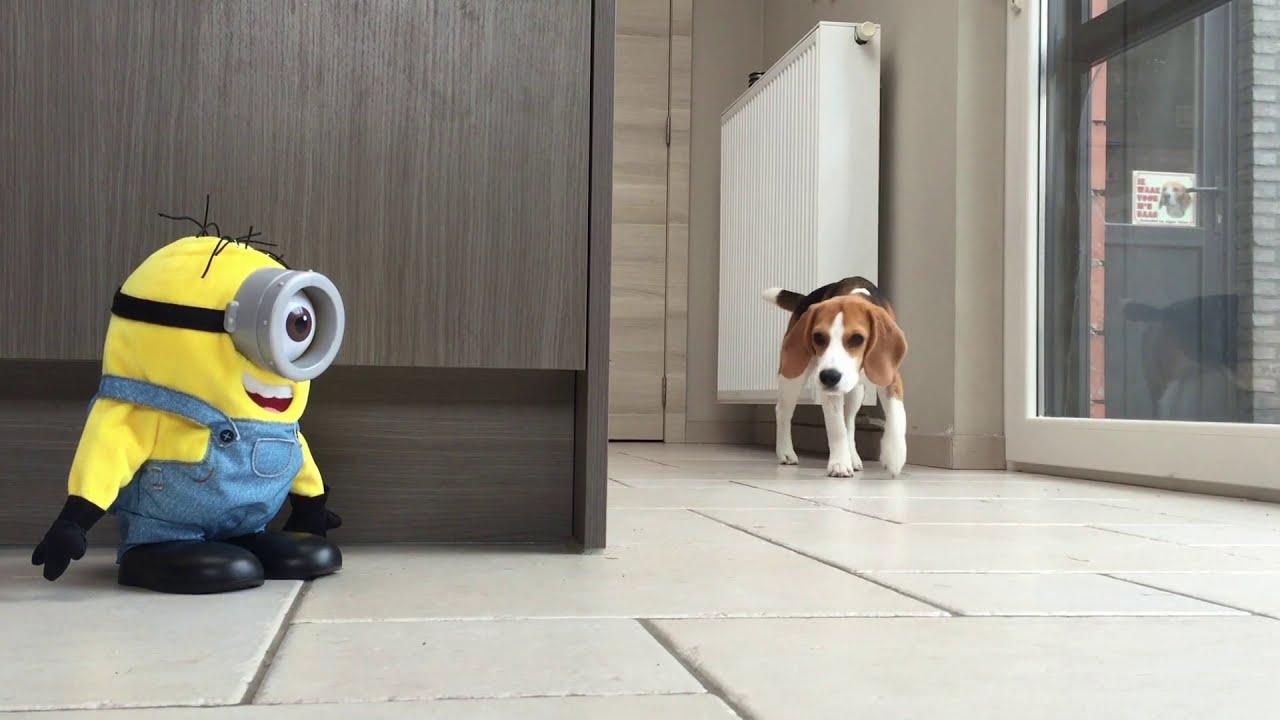 Most Inspiring Smart Beagle Adorable Dog - maxresdefault  Picture_789425  .jpg