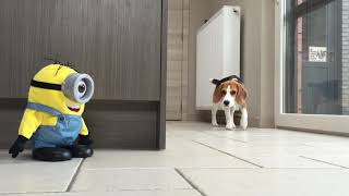 "Funny Dogs Vs ""tumblin Stuart"" The Minion!"