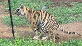 Tigre defecando...tiger having a little ...