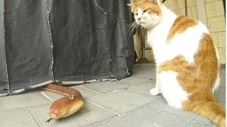 Snake under the BBQ - What does the Cat do ?!