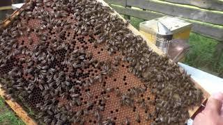 Начинаем собирать пчелосемьи в зиму 9.08.2019