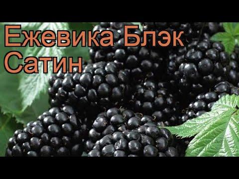 Ежевика обыкновенная Блэк Сатин (black satin) 🌿 обзор: как сажать, саженцы ежевики Блэк Сатин