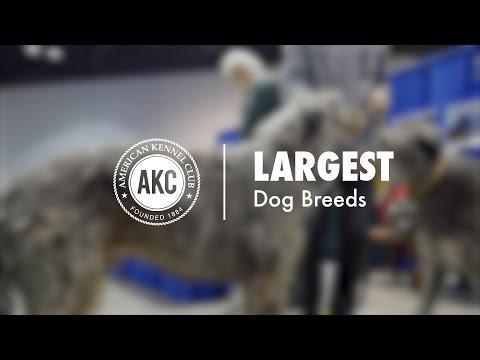 Top 15 Largest Dog Breeds