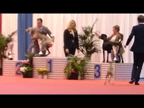 Whippet dog Best in Show puppy class (female) Spring Show Luxembourg 08.04.2017