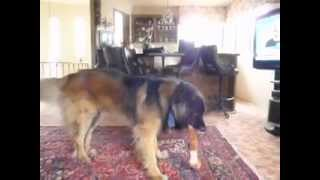 Happy Leonberger Dog Teddy Bear Having A Great Time