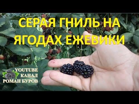 Почему гниет и осыпается ягода ежевики и что с эти делать. Серая гниль на ягодах ежевики. Ежевика.