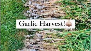 Garlic Harvest 2021 PNW #shorts