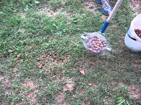 Come raccogliere le nocciole senza far fatica youtube for Raccogliere castagne