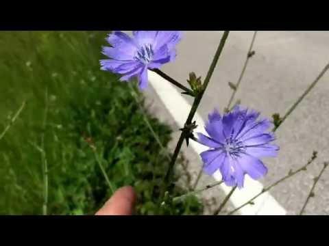 Medicinal and edible plant  chicory