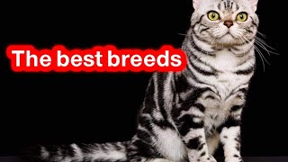 Characteristics of the American shorthair cat /One of the best cats