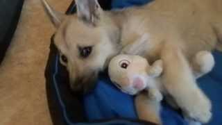 Милый щенок засыпает с плюшевым зайцем. funny puppy