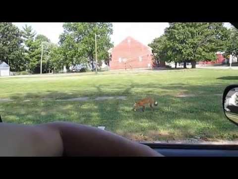 Wild Fox In Capron IL