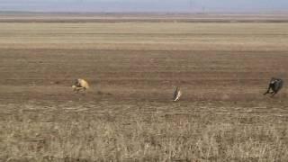 На охоте с Грейхаундами в окрестностях Красного Маныча