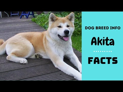 Akita dog breed. All breed characteristics and facts about Akita