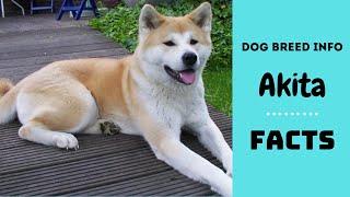 Akita dog breed. All breed characteristics and facts about Akita