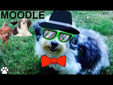 POODLE MALTESE X BREED- fun facts about Moodles - a tutorial by Cooking For Dogs