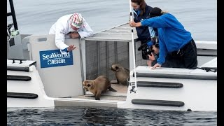 SeaWorld Returns Marina the Sea Lion to Her Ocean Home | SeaWorld® San Diego