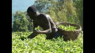 Picking Tea near Kibale Park, Uganda