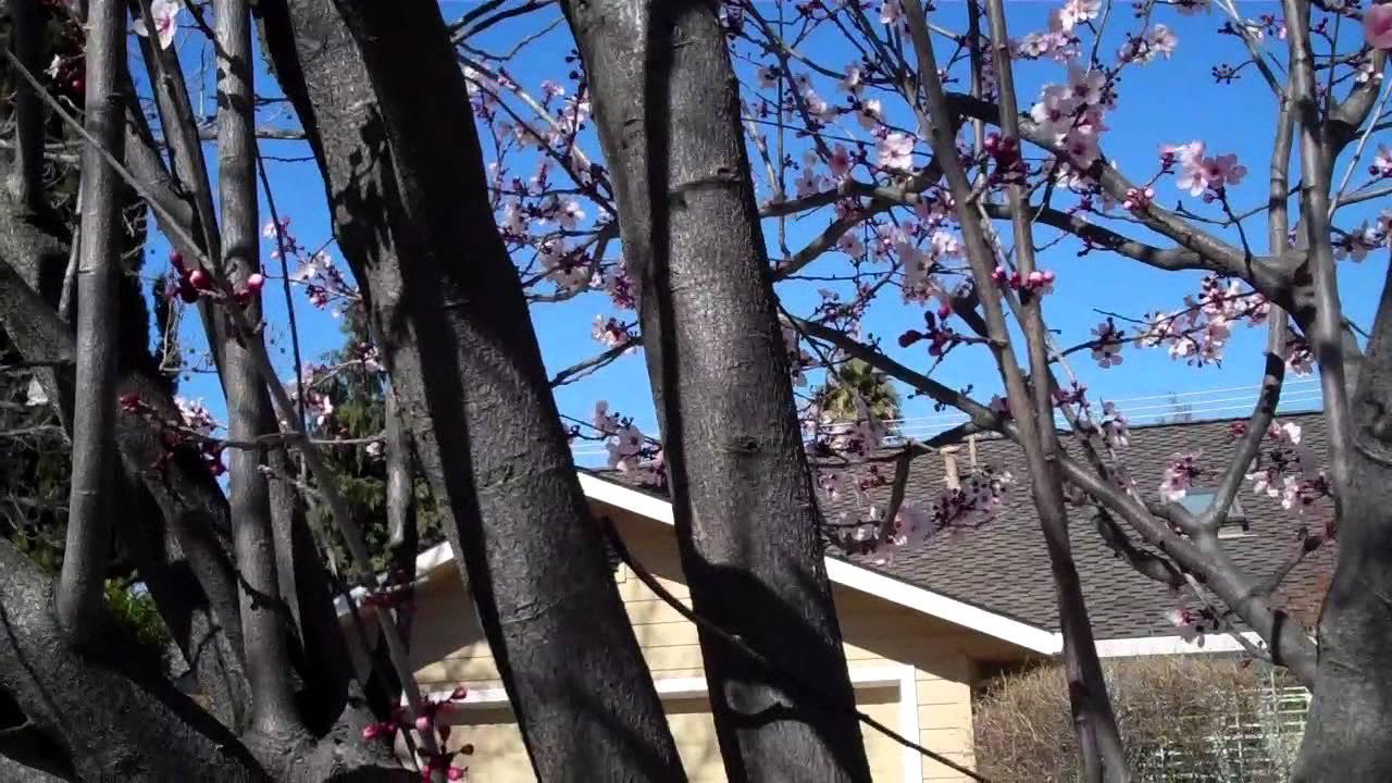 Pruning A Purple Leaf Plum Youtube