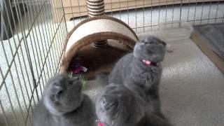 Scottish fold kittens (2,5 months old)