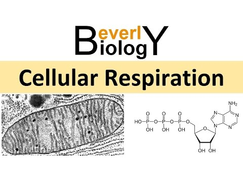 Cellular Respiration (honors biology) updated