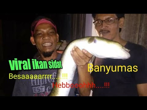 Excekusi Ikan Sidat Sebesar Ular Piton,di Banyumas Jatilawang