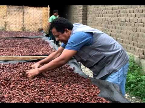 The Peruvian cacao of Piura