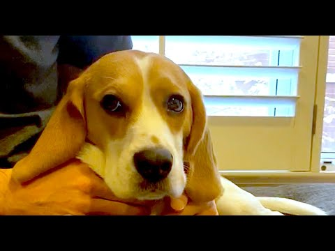 What does a beagle feel like?