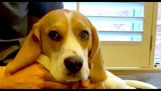 What does a beagle feel like?