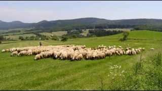Coban i ovce