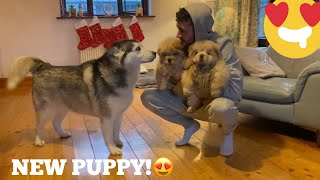 Husky Super Excited To Reunite With The Cutest Chow Chow Puppies!! [CUTEST REACTION!]